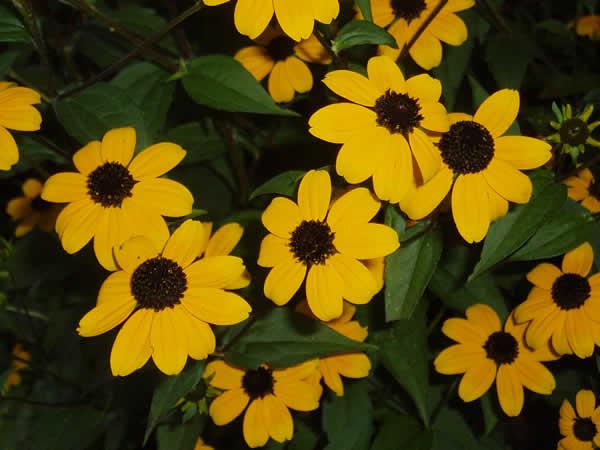 Three lobed coneflower brown eyed susan tennessee smart yards three lobed coneflower brown eyed susan tennessee smart yards native plants mightylinksfo