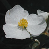 THUMB_Arrowhead_Duck_Potato_Sagittaria_latifolia_John_Hilty