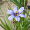 THUMB_Blue_eyed_Grass_Stout_Blue_eyed_Grass_Sisyrinchium_angustifolium_Prairie_moon