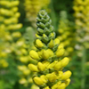 THUMB_Blue_Ridge_Buckbean_Aarons_Rod_Carolina_Lupine_Thermopsis_villosa_2_PRiaire_Moon