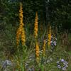 THUMB_Bog_Goldenrod_Swamp_Goldenrod_Solidago_uliginosa_Prairie_Moon