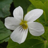 THUMB_Canadian_White_Violet_Viola_canadensis_John_Hilty