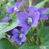 THUMB_Common_Blue_Violet_viola_sororia_Prairie_moon