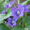 THUMB_Common_Blue_Violet_viola_sororia_Prairie_moon