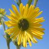 THUMB_Compass_Plant_Silphium_laciniatum_3_John_Hilty