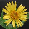 THUMB_Cup_Plant_Silphium_perfoliatum_3_Prairie_Moon
