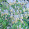 THUMB_Early-Meadow_Rue_Thalictrum_dioicum_3_Prairie_Moon