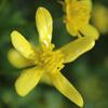 THUMB_Early_Buttercup_Ranunculus_fascicularis_PRairie_Moon