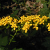 THUMB_Elm_leaved_Goldenrod_Solidago_ulmifolia_4_John_Hilty