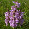 THUMB_False_Dragonhead_Obedient_Plant_Physostegia_virginiana_John_Hilty
