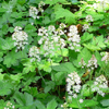 THUMB_Foamflower_False_Miterwort_Heartleaf_Foamflower_Tiarella_cordifolia_WIKI
