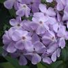 THUMB_Garden_Phlox_Summer_Phlox_Phlox_paniculata_3_John_hilty