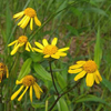 THUMB_GoldenRagwort_Packera_aurea_John_Hilty