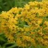 THUMB_GrassleavedGoldenrod_FlattopGoldenrod_Euthamia_graminifolia_3_John_Hilty