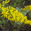 THUMB_Gray_Goldenrod_Old_Field_Goldenrod_Solidago_nemoralis_4_Prairie_Moon