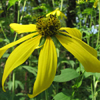 THUMB_Green_headed_Coneflower_Wild_Golden_Glow_Cutleaf_Coneflower_Rudbeckia_laciniata_Prairie_moon