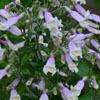 THUMB_HairyBeardtongue_Penstemon _hirsutus_Prairie_Moon