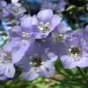 THUMB_Jacobs_Ladder_Greek_Valerian_Polemonium_reptans_Prairie_Moon