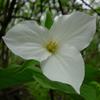 THUMB_Large_flowered_Trillium_Great_Trillium_White_Trillium_Trillium_grandiflorum_3_Prairie_Moon