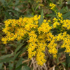 THUMB_Late_Goldenrod_Giant_Goldenrod_Solidago_gigantea_John_Hilty