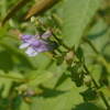 THUMB_Mad_dog_Skullcap_Blue_Skullcap_Scutellaria_lateriflora_John_Hilty
