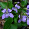 THUMB_Marsh_Blue_Violet_Viola_cucullata_PRairie_moon