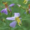THUMB_Maryland_Meadow_Beauty_Rhexia_mariana_WIKI