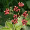 THUMB_Meadow_Parsnip_Purple_Meadow_Parsnip_Thaspium_trifoliatum_John_Hilty