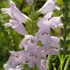 THUMB_Narrowleaved_Obedient_Plant_Physostegia_angustifolia_3_Prairie_moon