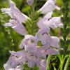 THUMB_Narrowleaved_Obedient_Plant_Physostegia_angustifolia_3_Prairie_moon