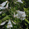 THUMB_PaleBeartongue_PalePenstemon_Penstemon_pallidus_John_Hilty