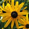 THUMB_Perennial_Black_eyed_Susan_Orange_Coneflower_Rudbeckia_fulgida_Wiki