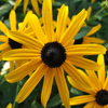 THUMB_Perennial_Black_eyed_Susan_Orange_Coneflower_Rudbeckia_fulgida_Wiki