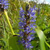 THUMB_Pickerelweed_Pontederia_cordata_John_Hilty