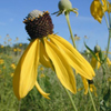 THUMB_Prairie_Coneflower_Yellow_Coneflower_Ratibida_pinnata_John_Hilty