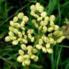 THUMB_Prairie_Parsley_Nuttalls_Parsley_Polytaenia_nuttallii_WIKI