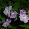 THUMB_PurplePhacelia_FernleafPhacelia_Phacelia_bipinnatifida_WIKI