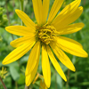 THUMB_Rosin_Weed_Wholeleaf_Rosinweed_Silphium_integrifolium_2_Priaire_Moon