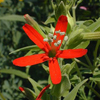 THUMB_Royal_Catchfly_Silene_regia_3_John_Hilty