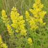 THUMB_Showy_Goldenrod_Solidago_speciosa_4_PRiarie_moon