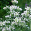 THUMB_Slender_Mountain_Mint_Narrow_Leaf_Mint_Pycnanthemum_tenuifolium_Prairie_Moon