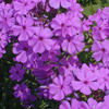 THUMB_Smooth_Phlox_Marsh_Phlox_John_Hilty