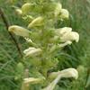 THUMB_SwampLousewort_MarshBetony_Pedicularis_lanceolata_PRairie_Moon
