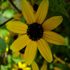 THUMB_Three_lobed_Coneflower_Brown_eyed_Susan_Rudbeckia_triloba_3_PRairie_moon