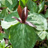 THUMB_Toadshade_Little Sweet Betsy_Whippoorwill_Flower_Trillium_cuneatum_WIKI
