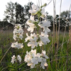 THUMB_TubeBeardtongue_TrumpetPenstemon_WhiteWandPenstemon_Penstemon_tubiflorus_John_Hilty