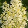 THUMB_Virginia_Bunchflower_Bunch_Flower_Veratrum_virginicum_2_Prairie_moon