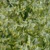 THUMB_Waxy_leaf_Meadow_Rue_Thalictrum-revolutum_2_John_Hilty