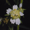 THUMB_Whiteflower_Leafcup_Small_flowered_Leafcup_Polymnia_canadensis_John_Hilty