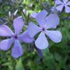 THUMB_Wild_Blue_Phlox_Woodland_Phlox_Phlox_divaricata_3_PRairie_Moon
